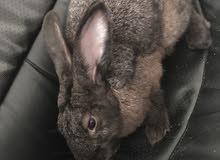 ارانب للبيع بداع السفر