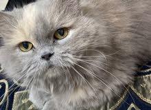 قطه شيرازي مجاناً