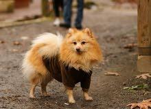 كلب بورمينان للبيع