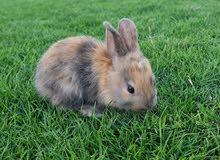 ارانب صغار للبيع