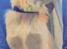كلب (بومرينيان)