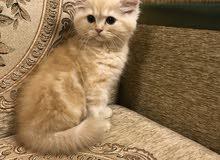 قط شيرازي عمره شهر Shirazi kitten ( one month