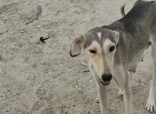 كلب سلوقي للصيد و الحراسه