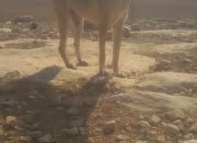 كلب  الام جيرمن لاب بلجم  كلب هادي وشرس على الحيوانات واليف ع البشر للبدل