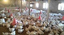 بيع دجاج لحم جاهز