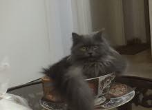 قطه شنشيلا مكس