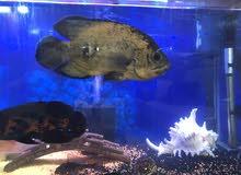 سمك اوسكار حجم 25 سم اللون عسلي