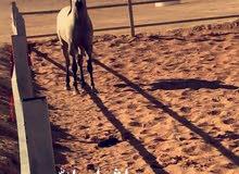 حصان عربي واهو مع اوراقه