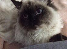 قطط هملايا للبيع بسعر مغري