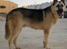 كلب جيرمن شيبرد وركلاين (بيور)