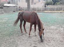 حصان مشاء الله ربي يبارك بالله يلي جادين في شراء يتصل بيا