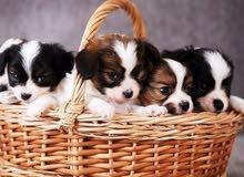 كلاب (جراء) صغيره