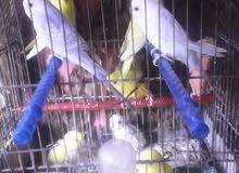 عصافير فيشر و استرليات ويمام يمري