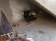 ديج ودجاجه للبيع