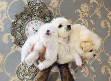 كلاب زينة نوع تيرير فرنسي
