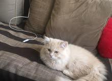 playful blonde hair cat 3months age