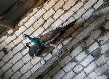 طائر  الملوك الطاوس