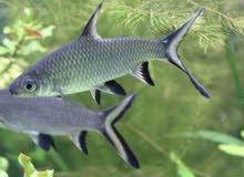 سمك للبيع