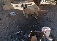 خروف وطني تني فحل