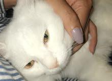 قطة انثى شيرازي عمرها4 اشهر