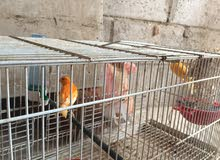 عصافير احمر للبيع