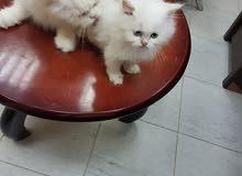 قطة شيرازية اصلية بيور بالجوز والتحصين مع الابن