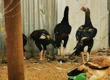 دجاج اصلى للبيع