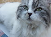 قطه شانشيلا للبيع