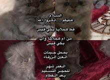 قطط هملايا العدد اثنين ذكور