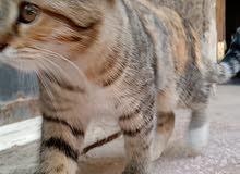 قطة شيرازي منزلية،متعودة على الليتر بوكس، عمرها 7 شهور.