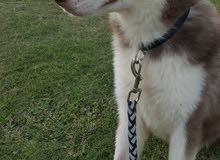 كلب هاسكي سيبريان بيور