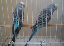 جوزين طيور حب مع الاقفاص بسعر مغري