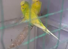 زوج طيور حب انكليزي خط اول تركيبه سبنجل  طيور بزارات الله شاهد سعر130وبيهن مجال