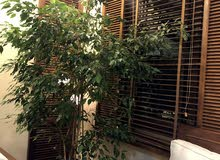 live indoor plants tall and healthy first one 30 second plant 20 KD