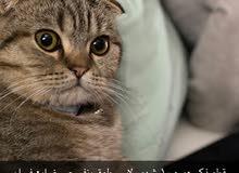 قط مفقود في ام القيوين lost cat in umm al quwain