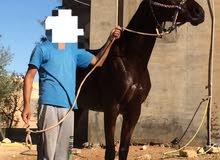 حصان انجليزي JEBEL EL MENCHAR
