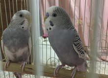 طيور حب جوزيات