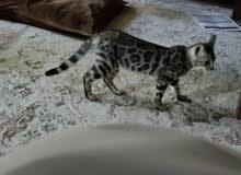 Pure Bengal Kitten - Silver very rare colour