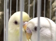 اثنين طيور الحب بادجي (تم الالسن وليفة وحبوبة وعيونها حمراء وألوانها جميلة وتطلع