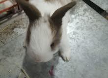 بيع الأرانب صغير كل انواع