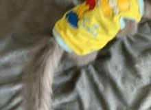 قطة شيرازيه تبلغ من العمر شهران رمادية اللون مع البوكس