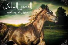 أقتني أجود الخيول العربية الاصيلة من مزرعة القصر الملكي 01023036623