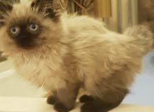 قطة اب شيرازي ام هملايا