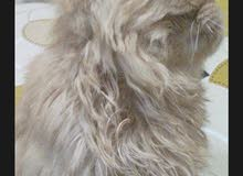 قط جميل وهادي ومتعود علي الليتر بوكس