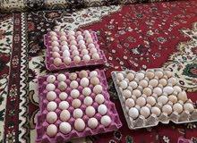 ثلاث طبقات بيض للبيع بيض عرب  سعر طبقه 15الف بيهن مجال  مكاني الزبير