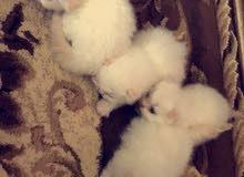 قطط هاملايا عيون ازرق