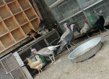 دجاج رومي محلي