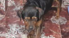 كلبه روت وايلر عمر 7 شهور