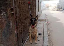 كلب وولف ألماني قديم