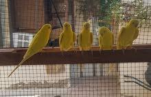 طيور بادجي  اصفر و عيون احمر
